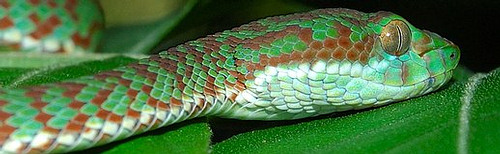 Brown-Spotted Green Pit Viper – Venomous – Mildly Dangerous