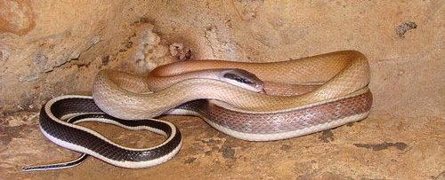 Ridley's Racer – Cave Snake – Not Venomous