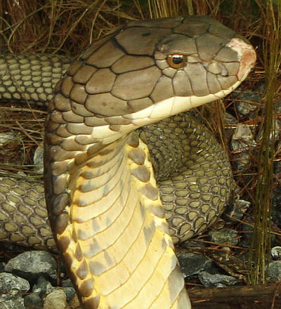 Large Thailand King Cobra head