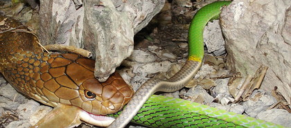 King Cobra Eats Red Tailed Racer Snake - Thailand