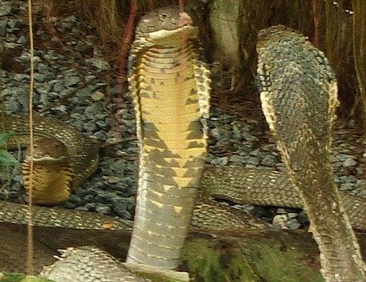 Three King Cobras in Thailand