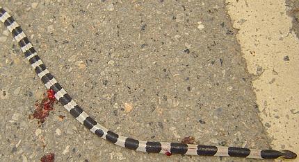 Exceptionally poisonous neuro toxic venomous snake in Thailand.
