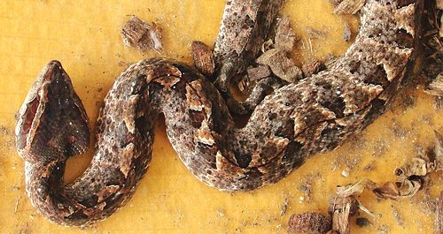 Malayan Pit Viper from southern Thailand