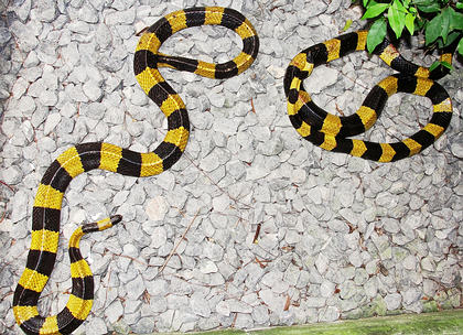 2 Banded Kraits - Bungarus fasciatus from southern Thailand, Nakhon si Thammarat province.