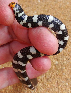 Belly and Tail of Red Tailed Pipe Snake native to Thailand