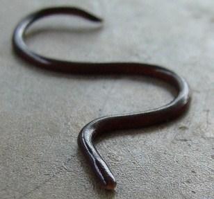 Brahminy Blind Snake Non Venomous Not Dangerous