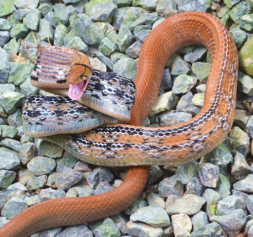 These radiated rat snakes can be more yellow and brown. This one is quite orange colored. Coelognathus radiata.