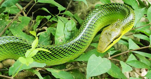 Red Tailed Racer Snake, Thailand