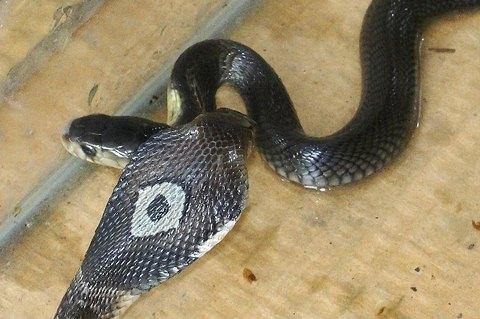 Monocled cobra siblings. Deadly venomous snakes - Naja kaouthia - Thailand