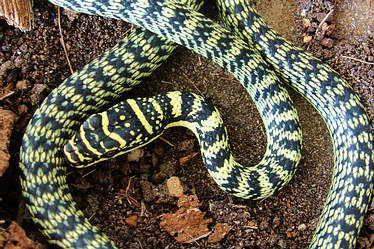In Thailand the golden tree snakes typically have this coloration and pattern.