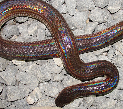 Rainbow of colors on this sunbeam snake in Thailand.