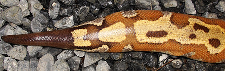 Blood Python Tail - from southern Thailand