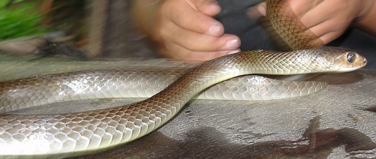 Indochinese Rat Snake - grey, from Thailand - Ptyas korros