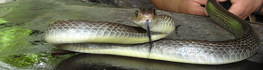 Grey Indochinese rat snake in Thailand