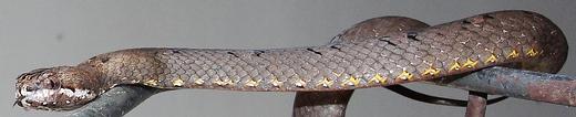 Mock Viper - Non Venomous - Not Dangerous, native to Thailand