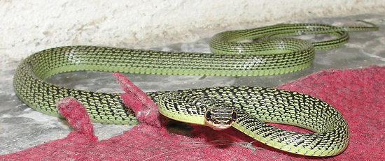 Golden Tree Snake found in Southern Thailand
