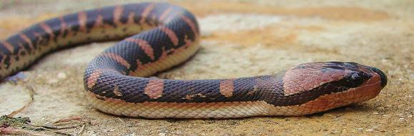 Puff Faced Water Snake - Homalopsis buccata from Nakhon si Thammarat