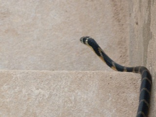 Small, juvenile king cobra in Laos, entering the Mekhong River.