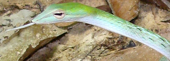 Oriental Whip Snake in Thailand - venomous, not deadly.