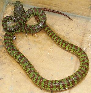 Trimeresurus venustus - Brown Spotted Green Pit Viper - Krabi, Thailand