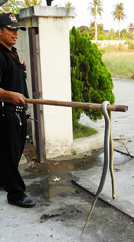 Big Rat Snake in Nonthaburi - 2nd specimen