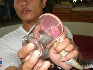 Johnny Milking Monocled Cobra - Naja kaouthia - at Ao Nang King Cobra Show