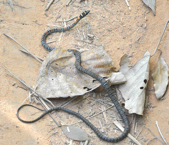 Twin Barred Tree Snake - Chrysolopea pelias - rare Thailand snake.