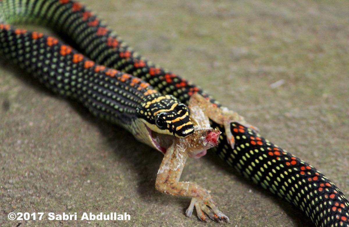 Paradise tree snake eating a gecko (Chrysopelea paradisi).