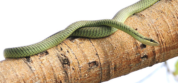 Golden tree snake, Bangkok, Thailand. Copyright Rich Lindie, used with permission.