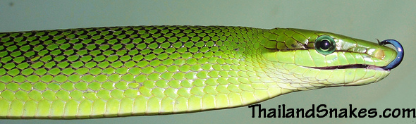 Bright Green Gonyosoma oxycephalum - Red Tailed Racer (Rat Snake) from Southern Thailand