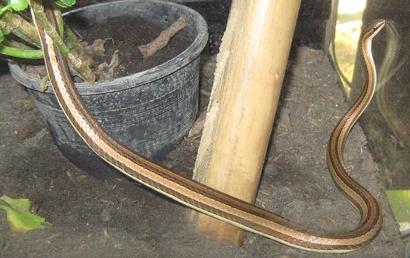 Brown snake with tan stripes, the Indochinese sand snake in Thailand
