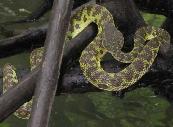 Mangrove pit viper in mangrove trees in Krabi province, Thailand.