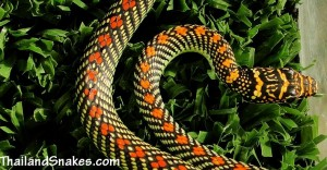 Paradise Tree Snake - Chrysopelea paradisi - from Krabi, Thailand and also called, flying snake