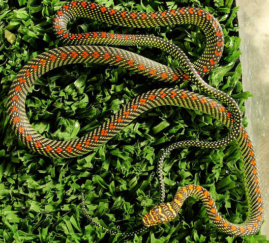 Full body - Paradise Tree Snake - Chrysopelea paradisii