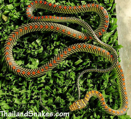 Full body of Paradise Tree Snake (Chrysopelea paradisi) from Krabi, Thailand