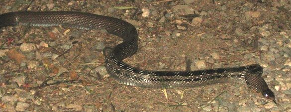 Malayan Racer - Coloegnathus flavolineata, in southern Thailand