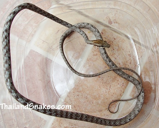Brown Whip Snake - Keel-bellied Whip Snake - Dryophiops rubescens caught in Thailand