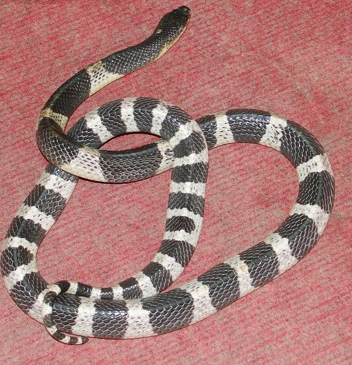 Malayan Krait also known as Blue Krait from Thailand. This snake has very deadly venom and kills a few people per year in Thailand and in each southeast Asian country it is found in.