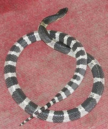 Adult Malayan Krait - Deadly venomous snake. Bungarus candidus.