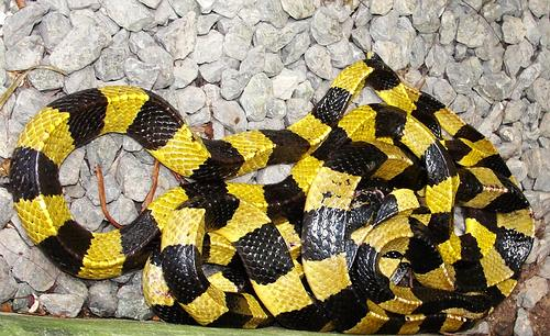Banded Kraits are yellow and black in most of Southeast Asia. In Indonesia they can be white and black.