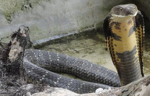 Captive king cobra - Krabi, Thailand.