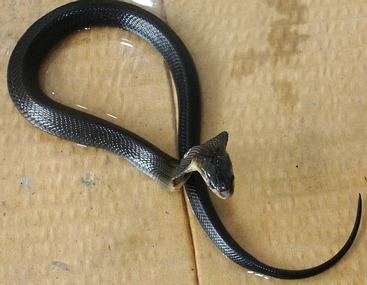 Juvenile Monocled Cobra - Naja kaouthia.