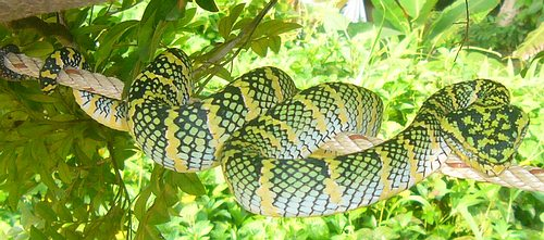 Wagler's Pit Viper - Tropidolaemus wagleri. Deadly venomous snake of Thailand.
