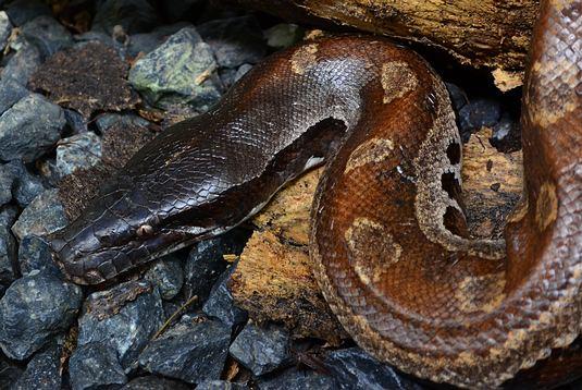 Blood Python - Thailand - Python brongersmai non-venomous snakes that are not very common in Thailand