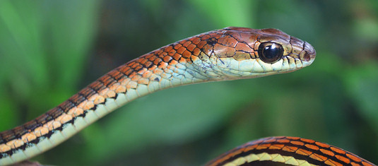 Striped bronzeback snake from southern Thailand