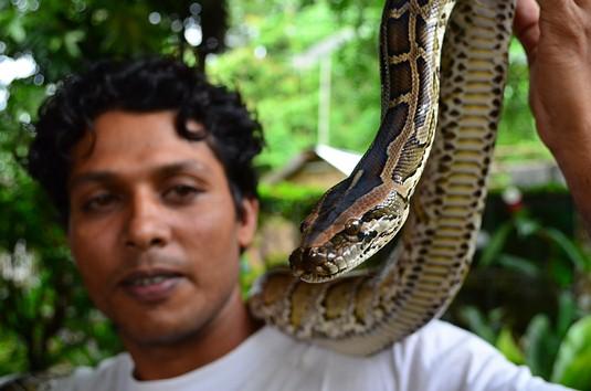 Burmese Python - Southern Thailand (Python molurus bivittatus)