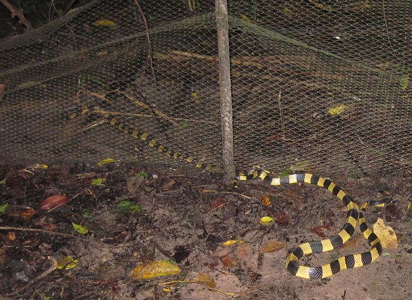 Banded Kraits - Bungarus fasciatus - Mating in Udonthani, Thailand in early October, 2011.