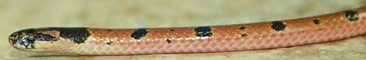 Speckled Coral Snake from side - Calliophis maculiceps