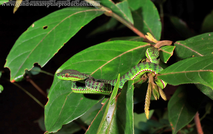 A new to science Thailand snake just recently described, Trimeresurus phuketensis.