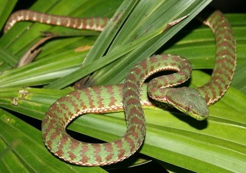New Thailand snake species - Trimeresurus Popeia phuketensis